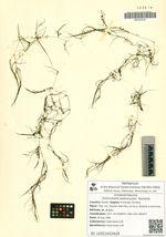 Zannichellia pedunculata  Reichenb.