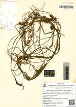 Sparganium hyperboreum Laest. ex Beurl.