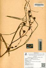 Sparganium stoloniferum (Graebn.) Buch.