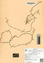 Zostera angustifolia (Hornem.) Rchb.