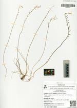 Triglochin palustre  L.