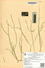 Zostera japonica Asch. & Graebn.