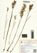 Juncus papillosus Franch. & Sav.