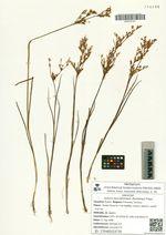 Juncus turczaninowii (Buchenau) Freyn