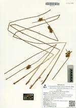 Juncus decipiens (Buchenau) Nakai