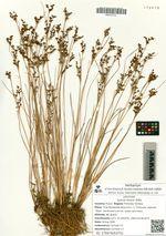 Juncus tenuis Willd.