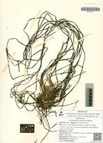 Phyllospadix iwatensis Makino