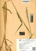 Digraphis arundinacea (L.) Trin.