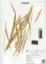 Phalaroides arundinacea (L.) Rauschert