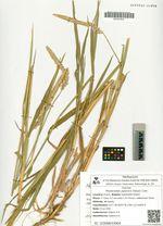 Phalaroides japonica (Steud.) Czer.