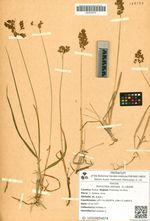 Hierochloe odorata  (L.) Wahlb