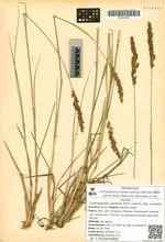 Calamagrostis neglecta (Ehrh.) Gaertn., Mey. et Scherb.