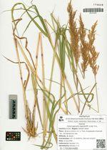 Calamagrostis lagsdorffii (Link) Trin.