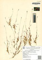 Arthraxon centrasiaticus  (Griseb.) Gamajun.