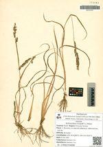 Echinochloa crusgalli (L.) Beauv.