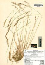 Agrostis trinii Turcz.