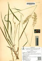 Calamagrostis korotkyi Litw.