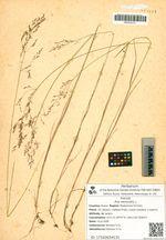 Poa nemoralis L. subsp. tanfiljewii Roshev.