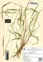 Elymus sibiricus L.