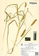 Setaria glauca (L.) P.Beauv.