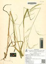 Festuca extremiorientalis Ohwi