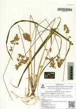 Hierochloe sachalinensis (Printz.) Worosch.