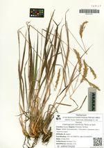 Calamagrostis monticola Petrov ex Kom.