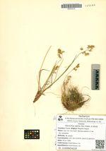 Hierochloe alpina (Sw.) Roem. & Schult.