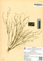Juncus bufonius L.