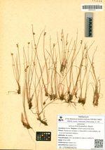 Juncus brachyspathus Maxim.