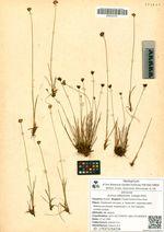 Juncus albescens (Lange) Fern.