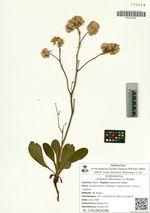Limonium flexuosum (L.) Kuntze