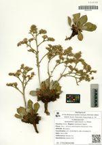 Goniolimon speciosum (L.) Boiss.