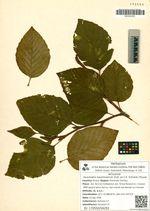 Duschekia maximowiczii (Call. ex C.K. Schneid.) Pouzar