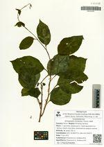 Schisandra chinensis (Turcz.) Baill.