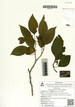Alnus japonica (Thunb.) Steud.