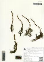 Myriophyllum verticillatum L.