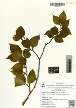 Betula schmidtii Regel