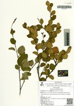 Betula ovalifolia Rupr.