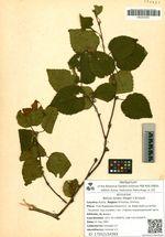 Betula lanata (Regel) V.N.Vassil.