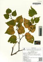 Betula platyphylla Sukaczev