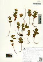 Hypericum kamtschaticum Ledeb.
