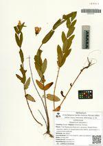 Hypericum ascyron L.
