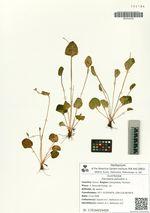 Parnassia palustris L.