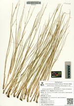 Juncus gracillimus (Buchenau) V.I. Krecz. & Gontsch.