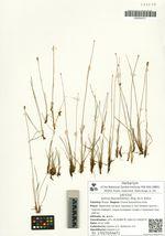 Juncus leucochlamys Zing. ex V. Krecz.