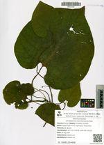 Aristolochia manshuriensis Kom.