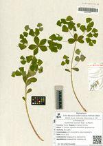 Euphorbia lucorum Rupr. ex Maxim.