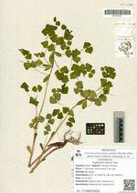 Euphorbia savaryi Kiss.