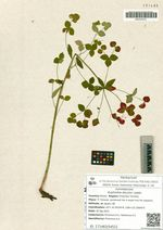 Euphorbia discolor Ledeb.
